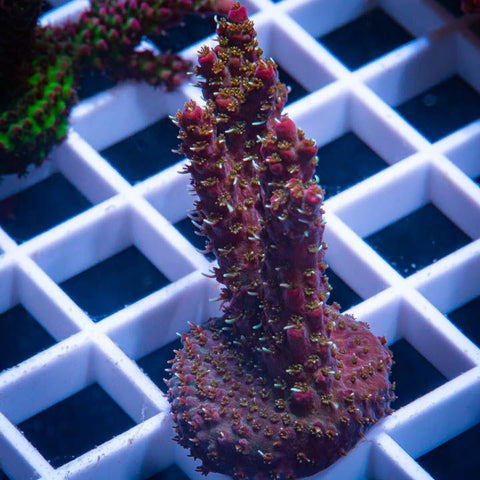 "Acropora sp.  -   Acro  with Potential  -  2"" WYSIWYG Large Frag"