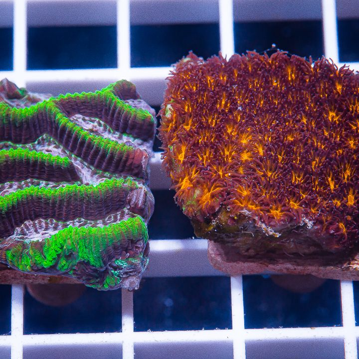 2 Piece LPS Frag Pack - 2 Different WYSIWYG Frags
