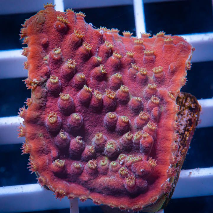 "Turbinaria sp. -  Lakers Scroll Coral - 1"" WYSIWYG Frag"