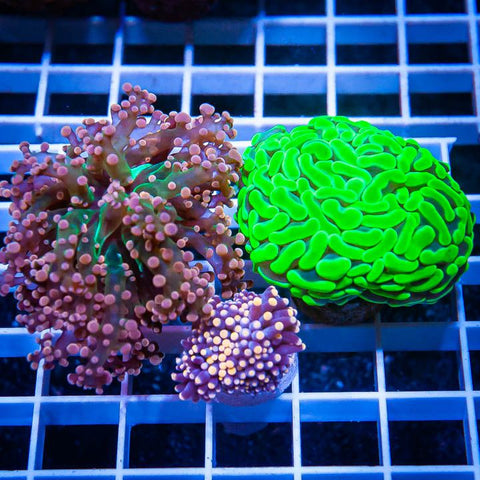 3 Piece Ultra Euphyllia Frag Pack - 3 Different WYSIWYG Frags