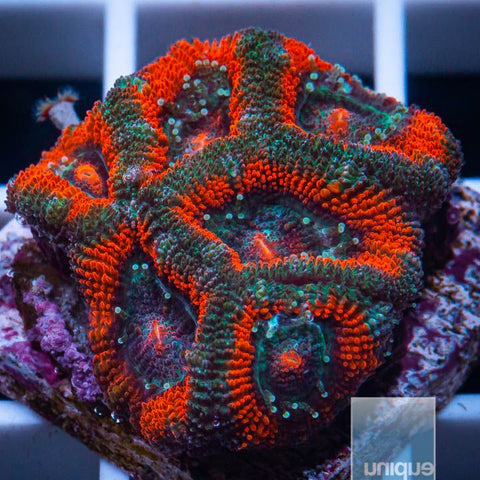 "Micromussa lordhowensis -    Red Micro Lord - 1"" WYSIWYG Frag"