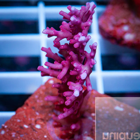 "Acropora sp.  - Red Dragon Acro - 2"" WYSIWYG Large Frag"