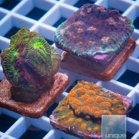 3 Piece LPS Frag Pack- 3 Different WYSIWYG Frags