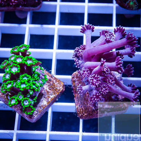 2 Piece Goniopora Frag Pack - 2 Different WYSIWYG Frags