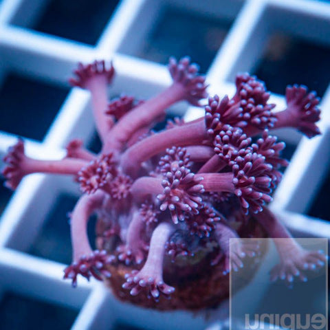 "Goniopora  sp.  -  Purple  Goni - 1"" Stock Frag"