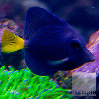 "Zebrasoma xanthurum - Purple Tang- Approx. 3"" Stock Specimen"