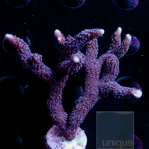 "Montipora digitata- Solomon Islands Purple Digitata- 1.5-2.5"" Stock Frag"