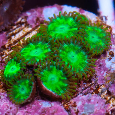 Zoanthus sp.  - Colorful  Zoanthids -  WYSIWYG Frag