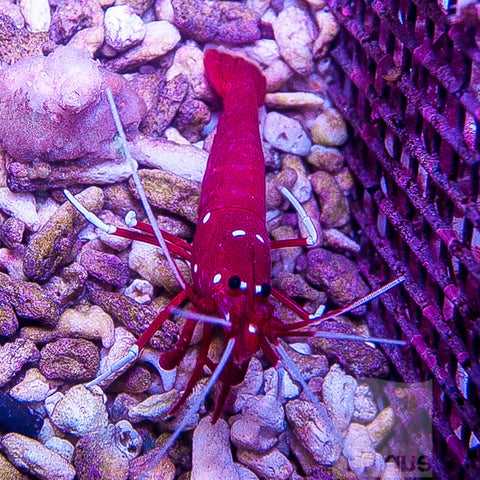 "Lysmata debelius - Blood Red Fire Shrimp -Approx. 1.5""-2"" Specimen"