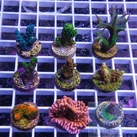 The Killer SPS FRAG PACK- 10 or 15 piece frag pack- We Pick- You Save!