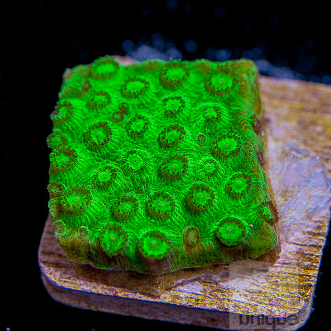 "Cyphastrea - UC ""Toxic Green"" Cyphastrea -1""  Stock Frag"
