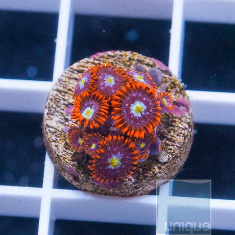 "Zoanthus sp.  - Colorful Zoanthids - 3/4"" WYSIWYG Frag"