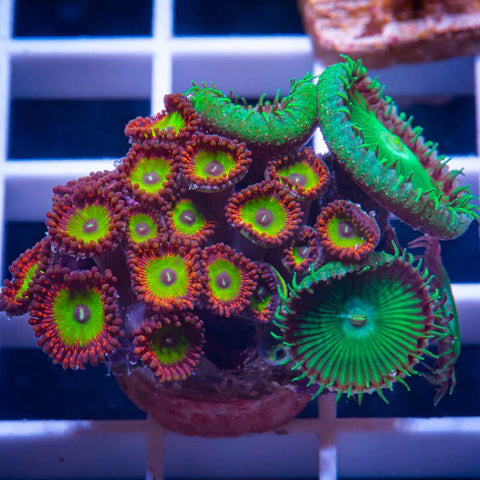 "Palythoa sp.  - Candy Apple Pinks Palys -  1"" WYSIWYG Frag"