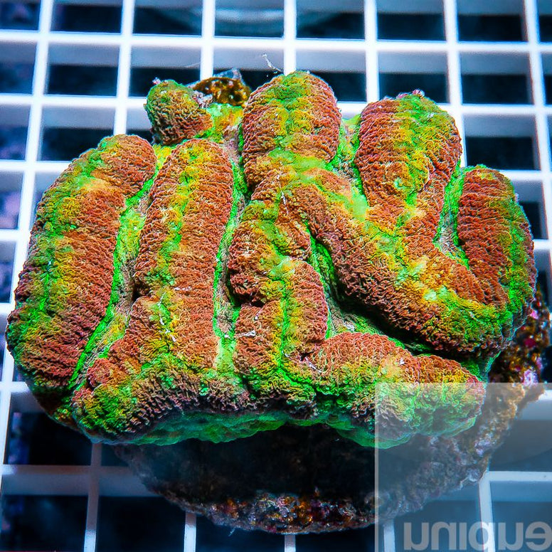 "Lobophyllia sp.  -  Rainbow Lobo  - 3"" WYSIWYG Colony"