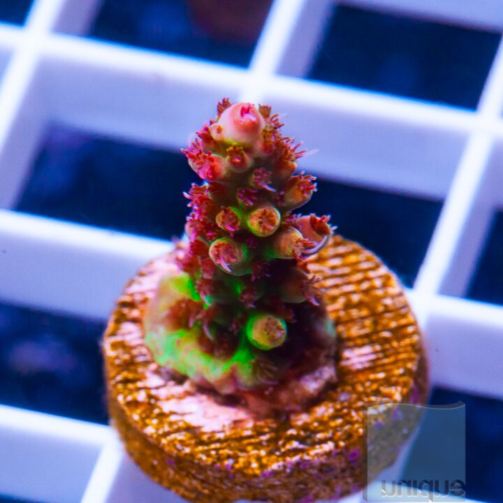 "Acropora sp.  -  UC Red Knockout Acro - 1"" WYSIWYG Frag"