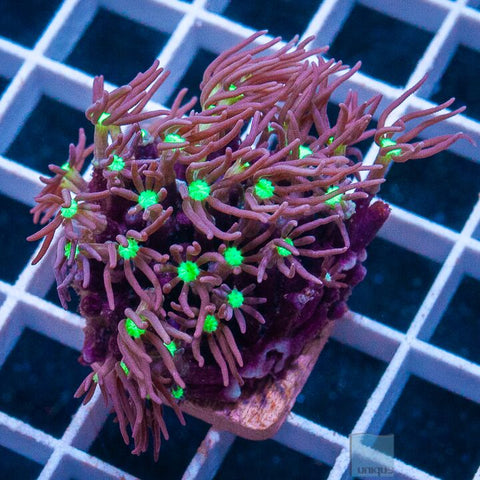 "Pachyclavularia sp. - Purple Star Polyps - 1"" Stock Frag"