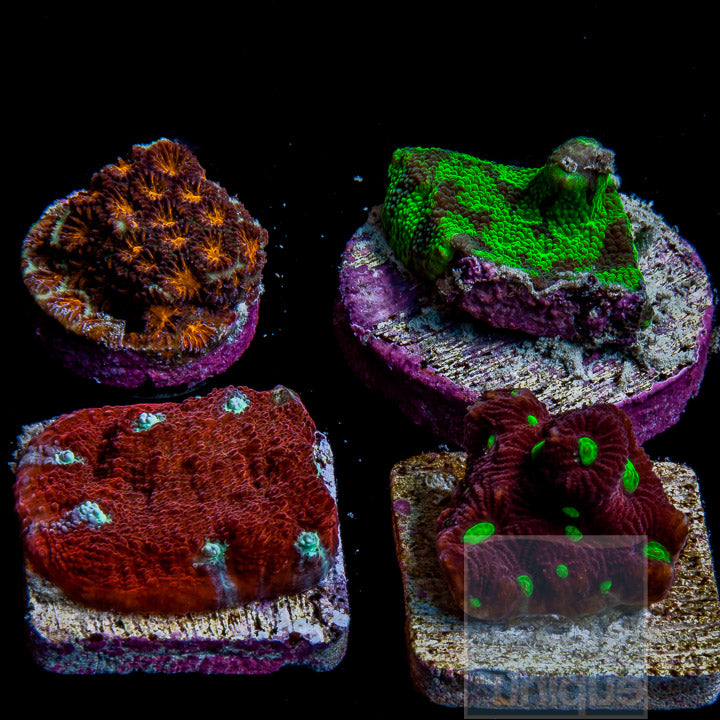 "Misc sp.- 4 Piece ""LPS"" Frag Pack - 4 Different Stock Frags (non-WYSIWYG)"