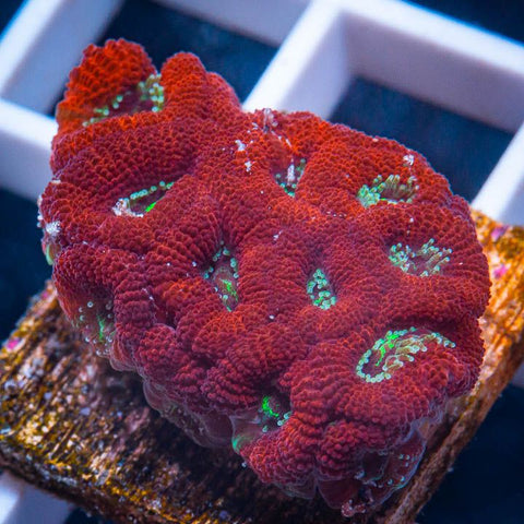 "Micromussa lordhowensis -   Red Velvet Micro Lord - 1"" WYSIWYG Frag"