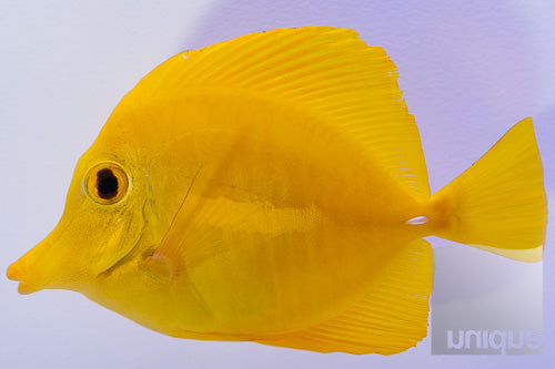 "Zebrasoma flavescens - Yellow Tang - Approx 2.5""  Specimen"