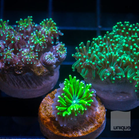 3 Piece Galaxea Frag Pack -  3 Different WYSIWYG Frags