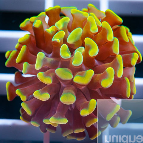 "Euphyllia paraancora  -  Indo Branching Gold Hammer Coral - 1"" Stock Frag"