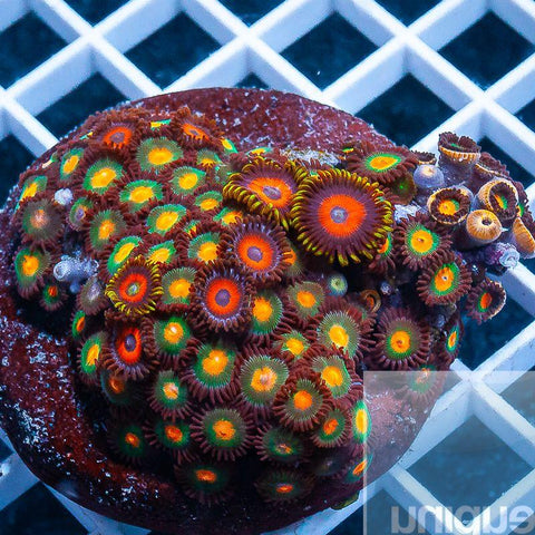 Zoanthus sp.  -  Colorful Zoanthids Garden -  Stock Colony