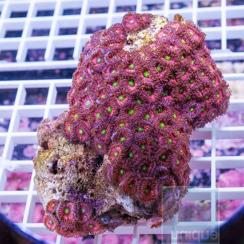 "Zoanthus sp.  - Colorful Zoanthids - 3.5"" WYSIWYG Colony"
