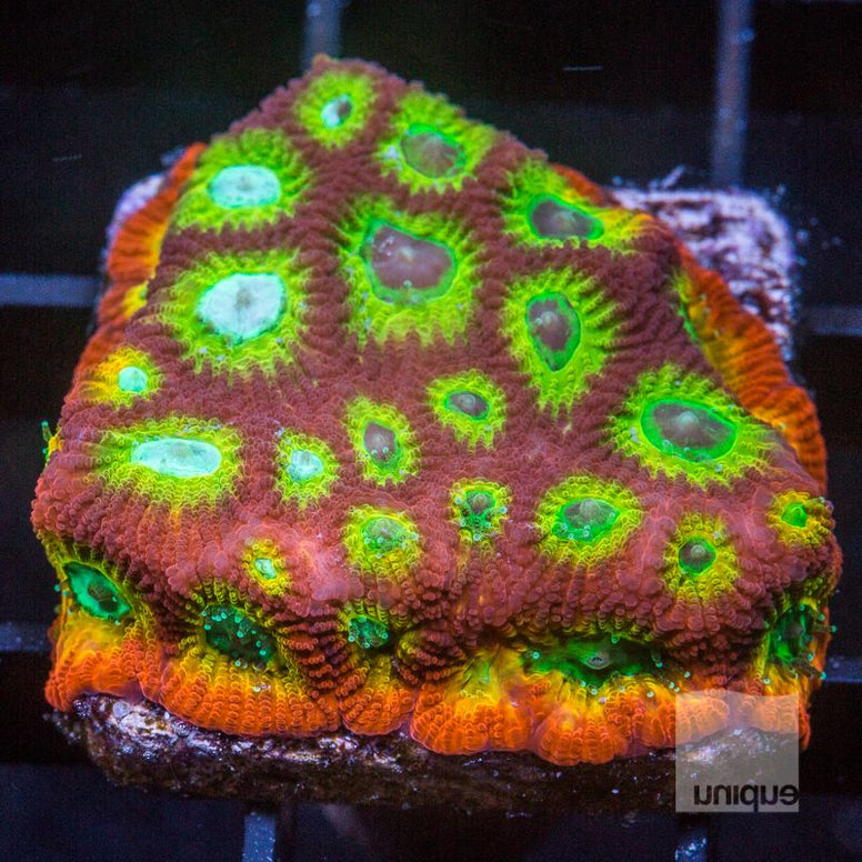 "Favia sp.  - Reef Raft Asia Spicy Lemon Favia - 1"" WYSIWYG Frag"