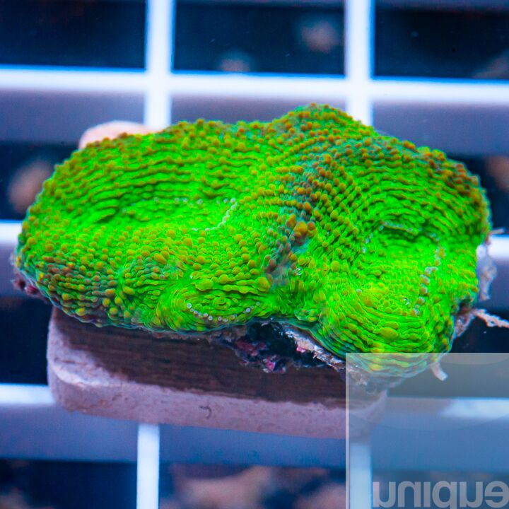 "Micromussa lordhowensis -   Colorful Micro Lord - 1"" WYSIWYG Frag"