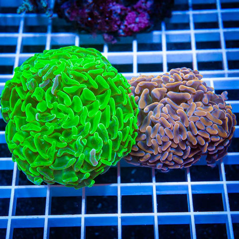 2 Piece Hammer Coral Frag Pack - 2 Different WYSIWYG Frags