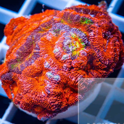 "Micromussa lordhowensis -  Ultra Micro Lord - 2"" WYSIWYG Large Frag"