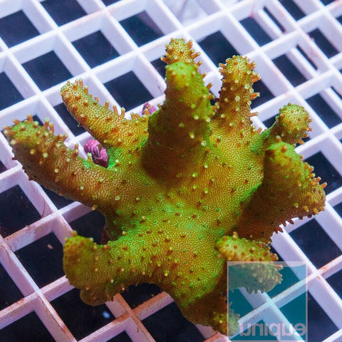 "Sarcophyton sp. -  Finger Leather Coral - 3.5"" WYSIWYG Specimen"