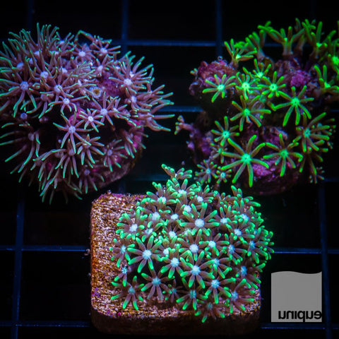 3 Piece Green Star Polyp Pack -  3  Different WYSIWYG Frags