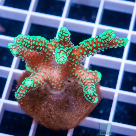 "Seriatopora sp.  - Screaming Birdsnest Coral - 1.5"" Stock Frag"
