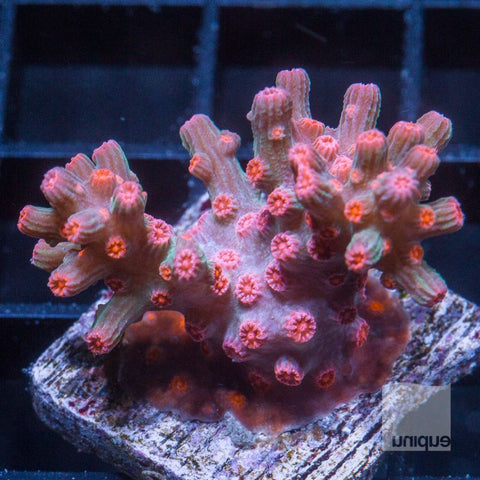 "Cyphastrea sp -   Branching Cyphastrea -  1"" WYSIWYG Frag"