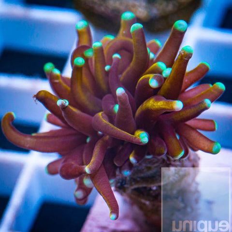 "Euphyllia glabrescens - Indo Gold Torch Coral - 2"" WYSIWYG Large Frag"