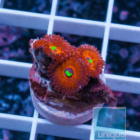 Palythoa sp.  - Red People Eaters Palys - WYSIWYG Frag