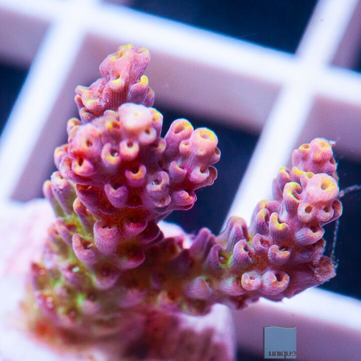 "Acropora sp.  -  UC Juicy Couture Acro - 1"" WYSIWYG Frag"