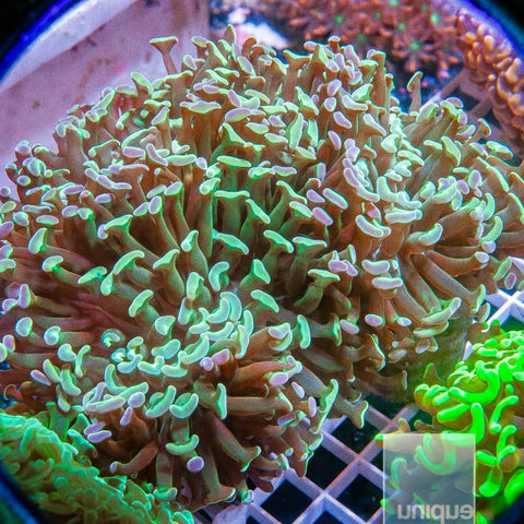 "Euphyllia  sp. -  Ultra Hammer Coral  - 3"" WYSIWYG Colony"