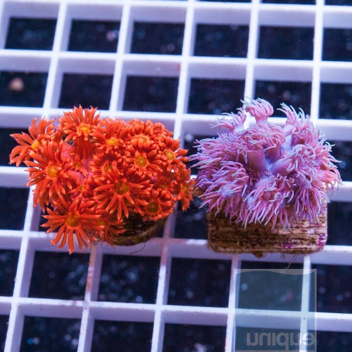 2 Piece Ultra Goniopora Frag Pack - 2 Different WYSIWYG Frags