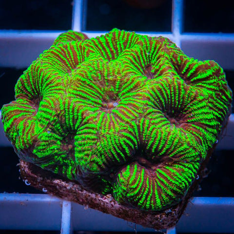 "Favia sp  -  Striped Favia -  1"" WYSIWYG Frag"