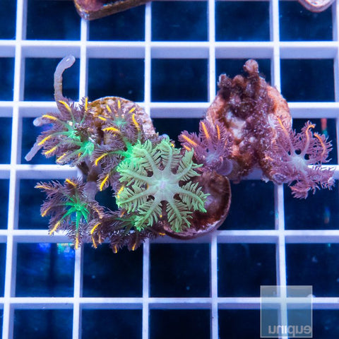 2 Piece Neon Clove Polyp Combo Pack - 2 Different WYSIWYG Frags