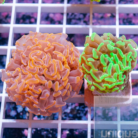 2 Piece Hammer Frag Pack - 2 Different WYSIWYG Frags