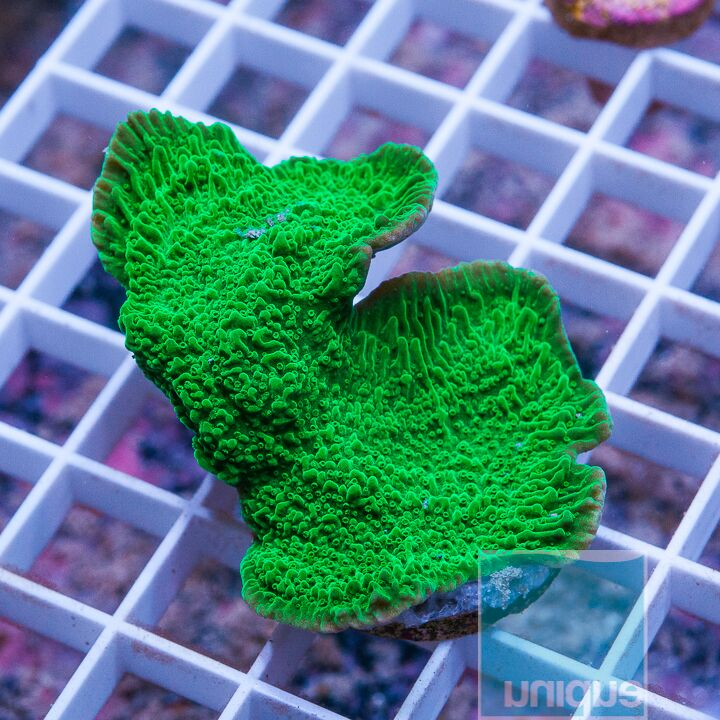 "Montipora sp. - Green Apple Monti - 1.5"" WYSIWYG Frag"