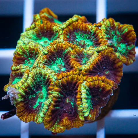 "Micromussa lordhowensis -    Outer Limits Micro Lord - 3/4"" WYSIWYG Frag"