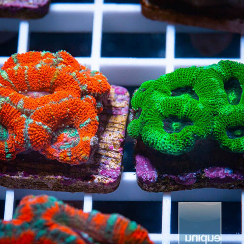2 Piece Micro Lord Frag Pack- 2 Different WYSIWYG Frags