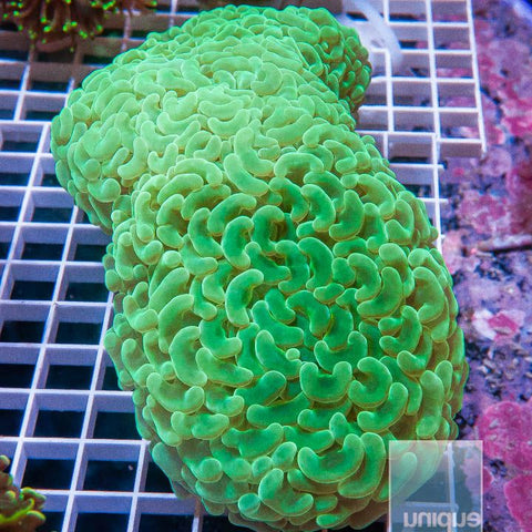 "Euphyllia  sp. -  Irish Spring Hammer Coral  - 3"" WYSIWYG Colony"