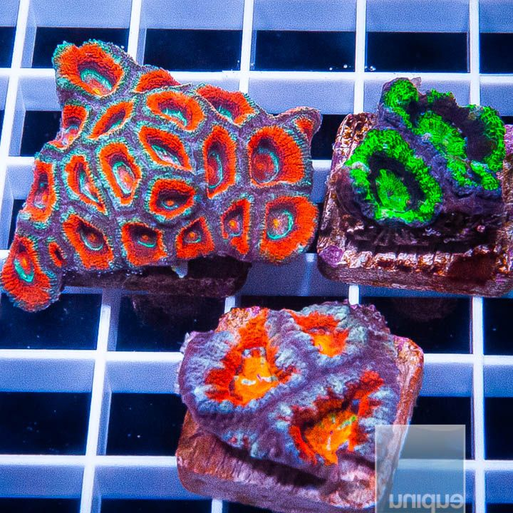 3 Piece Micro Lord Frag Pack- 3 Different WYSIWYG Frags