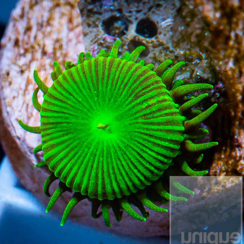 Palythoa sp.  -  Button Paly - WYSIWYG Frag