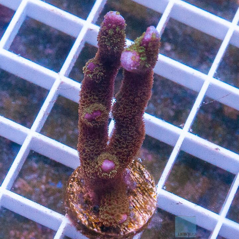 "Montipora digitata - Purple Tip Digitata - 1.5"" Stock Frag"
